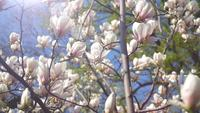 White magnolia flowers on tree branch on background of blue sky