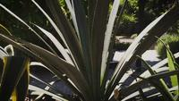 Agave Plant In Botanical Garden