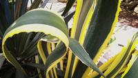 Green And Yellow Agave Plant In Botanical Garden
