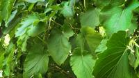 Detail-of-big-green-leaves-in-botanical-garden-ga28-5605-b