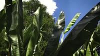 Banana-trees-in-botanical-garden-ga33-1639-a