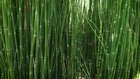 Detail-of-young-horsetail-plants-ga34-2359-b