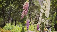 Purple-pink-and-white-foxglove-flowers-in-botanical-garden