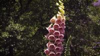 Detail Of Purple Foxglove Flowers In Botanical Garden