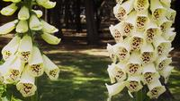 Detail Of White Foxglove Flowers In Botanical Garden