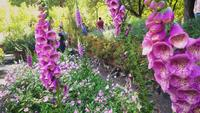 Detail Of Pink Foxglove Flowers In Botanical Garden