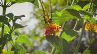 Yellow-butterfly-eating-nectar-eyed2462