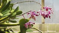 Purple Orchids In Greenhouse