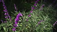 Lavender-plants-in-botanical-garden-ga24-4245-a