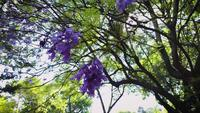 Close Up Of Jacaranda Flowers