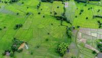 Landwirtschaftlicher grüner Reisbauernhof der Vogelperspektive von Thailand.