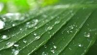 Regndroppar på tropiskt grönt blad
