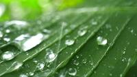Raindrops on tropical green leaf