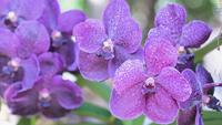 Vanda Orchid-Blume im Garten am Winter- oder Frühlingstag.