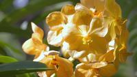 Flor de la orquídea de Vanda en jardín en invierno o día de primavera.