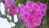 Vanda orchid flower in garden at winter or spring day.