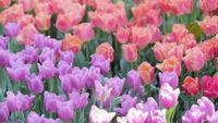 Tulpenbloem op gebied bij de winter of de lentedag.