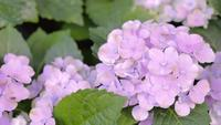 Purple Hydrangea flower in garden at sunny summer or spring day.