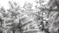 Winter fir-tree Forest with Snowy Christmas Trees