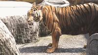 Le tigre au zoo.