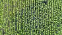 Flygfoto över regnskogen i Thailand.