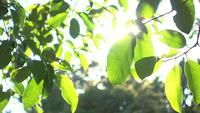 The rays of the sun make way through green leaves of the trees.