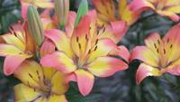 Os híbrido do lírio do lírio florescem no jardim no dia ensolarado do verão ou de mola.