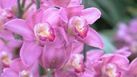 Cymbidiumorchideenblume im Garten am Winter- oder Frühlingstag.