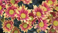 Flor vermelha e amarela no jardim no dia ensolarado do verão ou de mola.