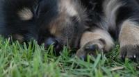 Söt valp som sover på ett gräsfält i parkera