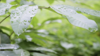 Gotas de lluvia cayendo sobre las hojas de los árboles.