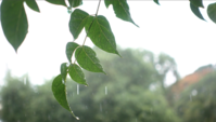 Pingos de chuva caindo em folhas de árvore.