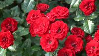 Red Roses on a flowerbed in the spring park