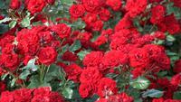 Rote Rosen auf einem Park des Blumenbeets im Frühjahr
