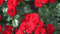 Röda rosor på en blomsterrabatt i våren parkerar