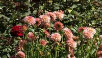 Dahlias roses se balancent dans un champ de vert