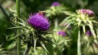 Ett bi sitter ovanpå en vild lila tistel