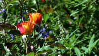 Duas rosas amarelas laranja balançam em um campo verde