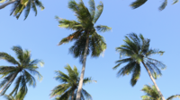 Kokospalmen, die mit dem Wind sich bewegen