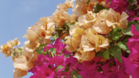 Beautiful Bougainvillea flower