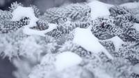 Vintergranskog med snöiga julgranar