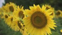 Zonnebloemen In Een Zomer Veld