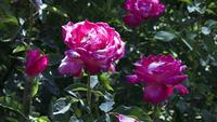 Las rosas rosadas se mecen en un campo verde