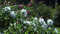 White Roses Sway in a Garden of Green