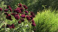 Dark Red Dahlias Sway in a Field of Green