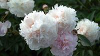 Pivoine blanche dans le jardin d'été