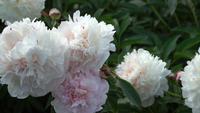 Peonía blanca en el jardín de verano
