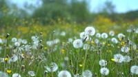 Field of dandelions in a meadow