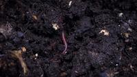 Close Up Of Red Earthworm