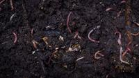 Compost Earthworm Colony